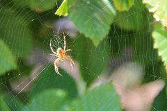 A spider is weaving his web in a bush (France) Royalty Free Stock Images