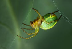 Spider weaving web Royalty Free Stock Image