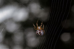Spider weaving web Royalty Free Stock Photo