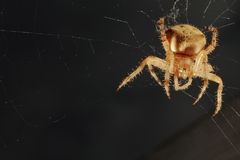 Spider and web. A spider on a web with a large egg sack Royalty Free Stock Photos