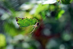 Spider and web. Closeup of spider in web outdoors with green foliage in background Stock Photography