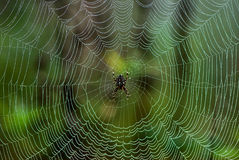 Spider in web. An spider in a web with dew drops Royalty Free Stock Photos