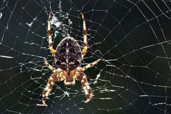 Spider in the web. Spider (Araneus diadematus) in the web Stock Images