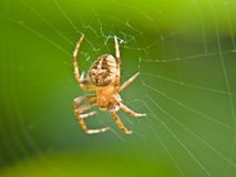 Spider on web. A golden brown spider in the center of his web with a green blurred background Royalty Free Stock Photography
