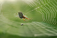Spider in web. Closeup of a spider in the middle of a spider web, wet with morning dew.  Order:  Araneae Royalty Free Stock Images