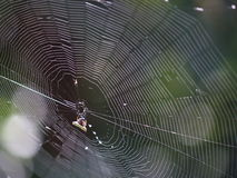 Spider web. At david, panama Stock Photo