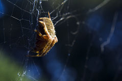 Spider in a web Stock Photo