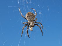Spider on a web Stock Images