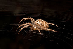 Spider on a web Stock Photography