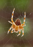 Spider & Web Royalty Free Stock Photo