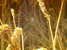Spider web. Spider in its web in the wheat Stock Image