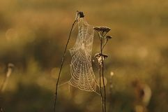 Spider web. Cobweb and Morning Light,insects Royalty Free Stock Images