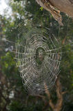 Spider Web. An intricate spider web hanging from a tree Royalty Free Stock Photos