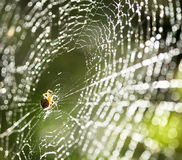 Spider on the web. Royalty Free Stock Photos