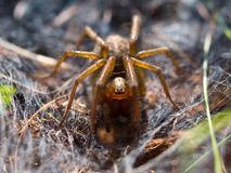 Spider in web. Frontal view Royalty Free Stock Photography