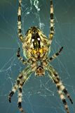 Spider in web Stock Image