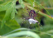 Spider on web. Details of a spider weaving its web.  Biological order:  Araneae Royalty Free Stock Photos