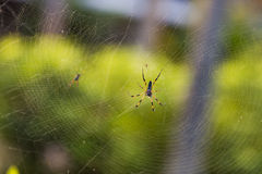 Spider web. A spider making a web Royalty Free Stock Photo