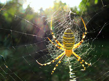 Spider on the web Stock Photography
