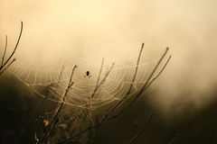 Spider on the web.  Royalty Free Stock Image