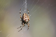 Spider In The Web. Closeup of a spider in its web Stock Photos