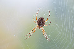 Spider on a spider web Royalty Free Stock Images