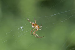 Spider on web. A single spider on a web with background out of focus stock image
