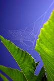 Spider Web. A spider's web woven between two leaves Royalty Free Stock Photo