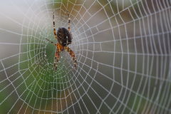 Spider on the web Royalty Free Stock Photo