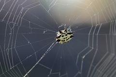 Spider in web, against sunlight royalty free stock photo