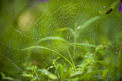 Spider web. An arachnid sits in its lair Royalty Free Stock Photography