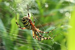 wasp spider in web stock photo