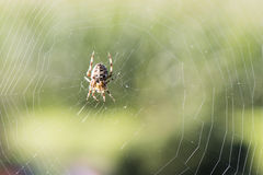 Spider with web. Spider in web on autumn day royalty free stock image