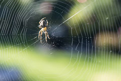 Spider with web. Spider in web on autumn day royalty free stock photography