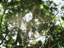 Spider web in autumn forest hung between branches. Tattered cobweb with dry leaves Royalty Free Stock Image