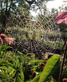 Spider Web. Backlit spider web in the garden with Echinacea flowers Stock Images