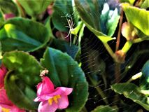 Spider and Web in Begonia Plant royalty free stock images