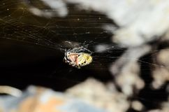 Spider and Web. Big Insect Spider and Web into the Wild Royalty Free Stock Image