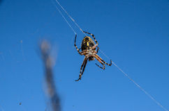 Spider and Web. Big Insect Spider and Web into the Wild Royalty Free Stock Photos