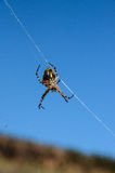 Spider and Web. Big Insect Spider and Web into the Wild Stock Photography