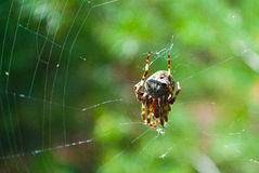 Spider in a web Stock Photography