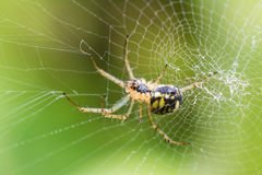 Spider On Web Royalty Free Stock Photos