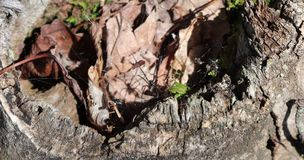 Spider, Web, Black Widow,Stump, Rotted, Moss,Dirt, Leaves, Outside. A picture of a stump with what looks like a black widow spider in it. A Photo taken in the Stock Photography