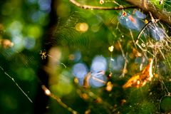 Spider web on branches with a spider stock photography