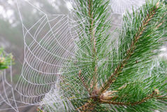 Spider web on the branches of pine. Spider web on the branches and needles of pine royalty free stock photos