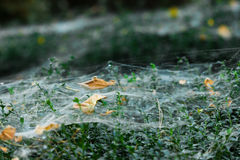 Spider web on bush Stock Images
