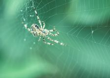 Spider on the web C Stock Photography