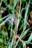 Spider in the web center on a green background Stock Photos