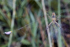 Spider in the web center and its food Royalty Free Stock Photos