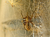 Spider in web 2 Stock Image